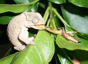 KwaZulu_Dwarf_Chameleon_catch_30_10_2010